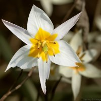 тюльпан :: Laryan1