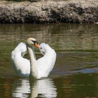 лебедь на пруду :: Дмитрий Поволоцкий