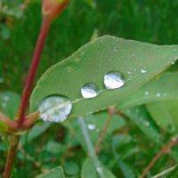 Капли на листьях жимолости. :: Vladikom