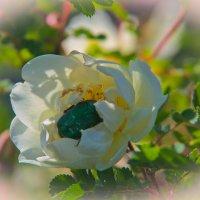 Жук на белой розе... :: игорь козельцев