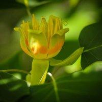 Цветет тюльпановое дерево. :: Nonna