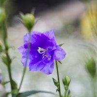 квіточка :: Тарас Семигаленко