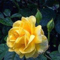 Чайная роза :: Ирина Приходько