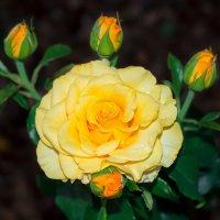 Желтая Роза :: ViP_ Photographer