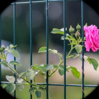 Роза розовая... :: Nonna