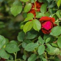 Роза красная... :: Nonna