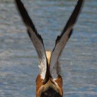 Вдох глубокий, крылья шире... :: Андрей Вигерчук