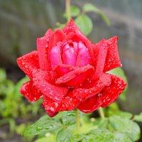 Роза после дождя :: Александр Максименко