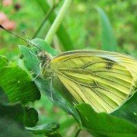 Бабочка Брюквеница  (Pieris napi L. ) :: Генрих Сидоренко