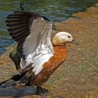 The Duck :: Roman Ilnytskyi