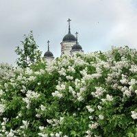 Сирень в цвету :: Валерий Талашов