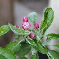 Цветы яблони. :: Nota Bene