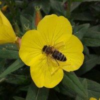 пчелка на цветке :: Юлия Закопайло