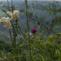 Цветы луговые.. :: ФотоЛюбка *