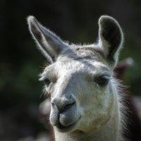 Родственница верблюда :: Николай