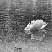 Царевна-лебедь выплывала, как будто сказочный мираж. :: Лидия Цапко