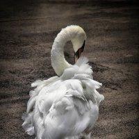 лебедь :: Slava Hamamoto