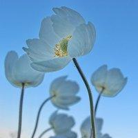 Цветы, как облака на небе... :: Наталья Юрова