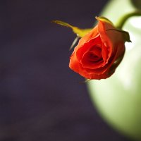 Коралловая роза. :: Лазарева Оксана