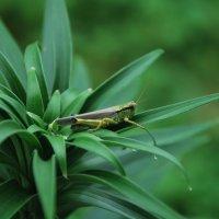 В траве сидел кузнечик, совсем как огуречик, зелененький он был! :: Ирина Корчагина