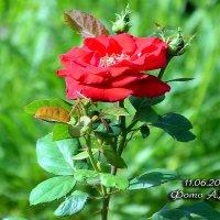 Красная роза. :: Анатолий