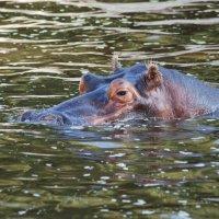 Водяная  корова :: Николай Танаев