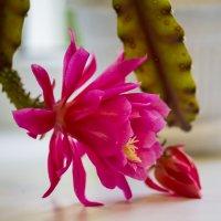 Цветок кактуса :: Николай Николенко