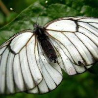 Бабочка :: Дмитрий Арсеньев