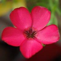 Аленький цветочек :: Виктория Мацук