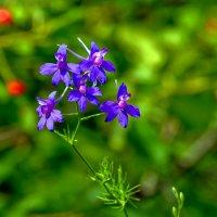 Цветы голубые. :: Анатолий