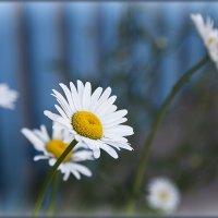 Цветут ромашки вдоль забора! :: Лилия *