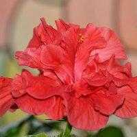Алая роза :: Пердимонокль