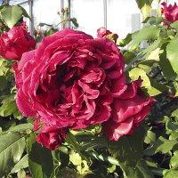 Zayed of Abu Dhabi Rose,кустарниковая :: Сергей Мягченков