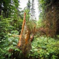 Утро в дремучем лесу :: Sergey Polovnikov
