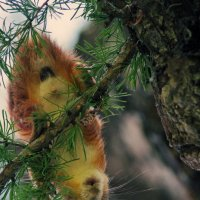Белк-летучий мышь :: Тата Казакова