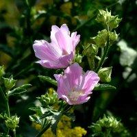 Лазоревые цветы. :: Анатолий