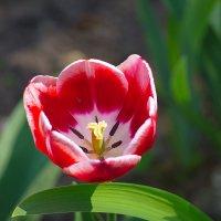 Тюльпаны. :: Геннадий Александрович