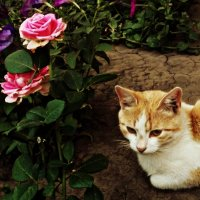 кот возле роз :: Татьяна Королёва