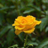 Роза :: mpas t