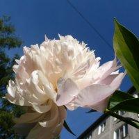 Розовый пион :: kudrni Кудрявцева