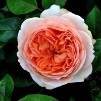 Мои 6 соток (Роза) :: Viacheslav