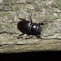 Самка жука оленя :: Александр Захаров