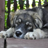 наш пес по имени РАЙ...надеюсь ему хорошо сейчас в раю... :: Вера Аверьянова