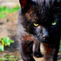 И только черному коту и невезет... :: Виктория Темникова