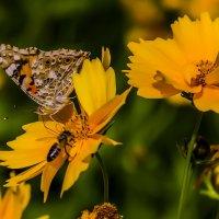 Бабочка и пчела :: Николай Николенко