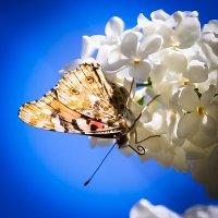 Бабочка на сирени! :: Светлана Шаповалова