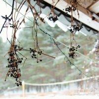 Зимние гроздья. :: Александра Шайдрова