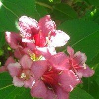 Вейгела цветущая :: Марина Мамзина (Калета)