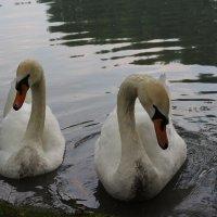 Лебеди :: Avak. A