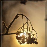 Зимняя вишня :: Леонид